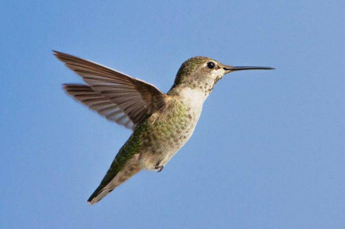 2312-annas-hummingbird female
