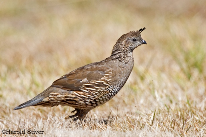 calif. quail female